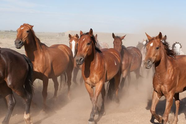 Group of horses trots across dusty ground at Three Peaks Ranch in Boulder, Wyoming.